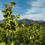 What's in Season Now: Fresh Hops